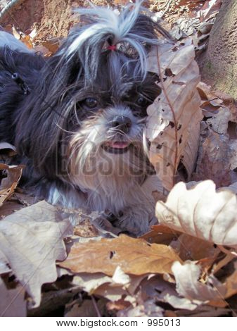 Shih Tzu In Pile Of Leaves