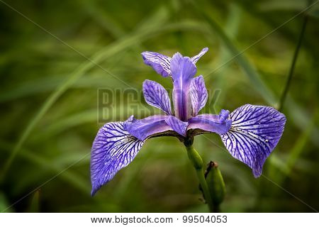 Wild Iris ( iris germanica) Close up