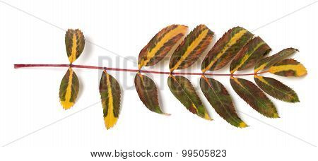 Multicolor Rowan Leaf On White Background