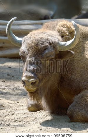 American Bison head. Vertical