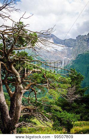 Caucasus Pine in Dombai
