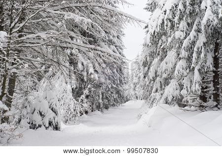 Untouched Snow In Snowy Forest