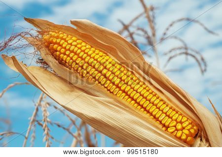 golden color maize on field