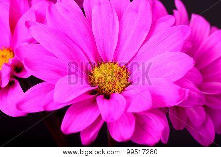 Pink Daisy Macro