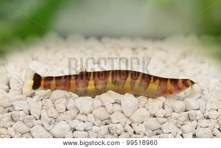 Kuhli Loach Catfish Pangio kuhlii freshwater aquarium fish