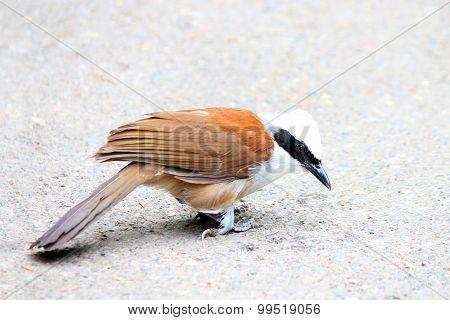 Bird white crested laughing thrush (Garrulax leucolophus)