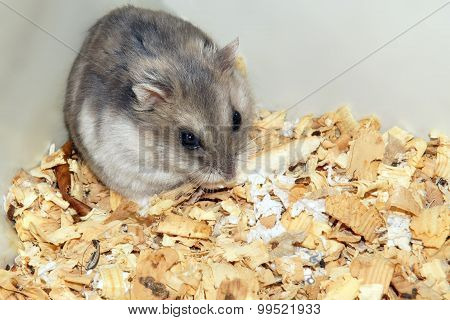 Cute Hamster In Sawdust Wooden House