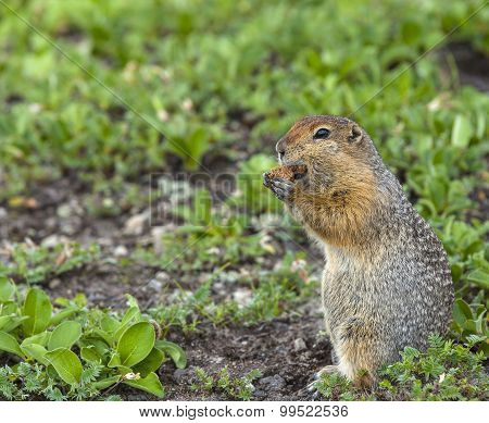 The American gopher on Kamchatka
