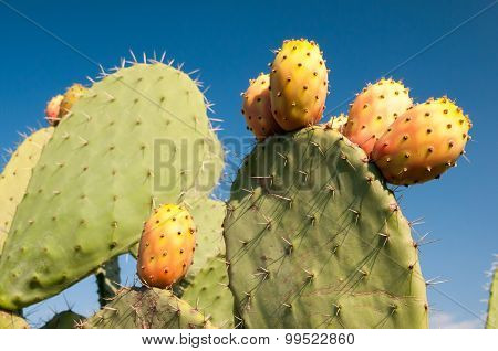 Prickly pears on cactus plant
