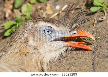Red-legged Seriema Or Crested Cariama (cariama Cristata)