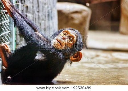 Baby Apes Chimpanzee Monkey.