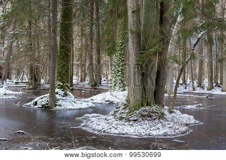 Winter Landscape Of First Snow In Old Forest