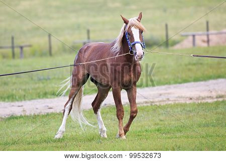 Young chestnut stallion breed Orlov Trotter.