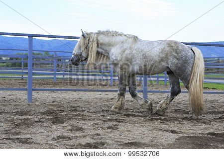 Beautiful stallion gray suit breed Percheron.
