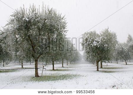 Olive Grove In Winter