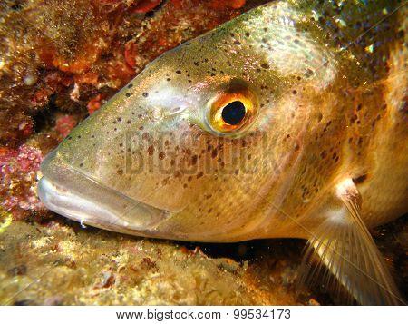 Underwater Shot Of Dentex Dentex - Porgy