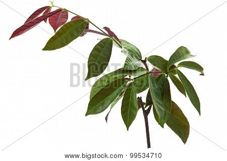 Chinese Croton Plant