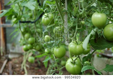A rich harvest. A Lot Of Tomatoes. Healthy nutrition.