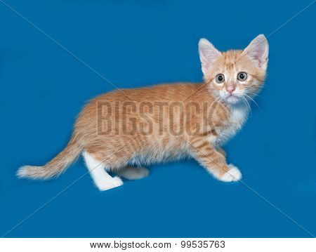 Red And White Kitten Standing On Blue