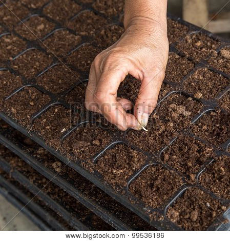 Hand Woman Sowing Cucumber Seeds On Tray