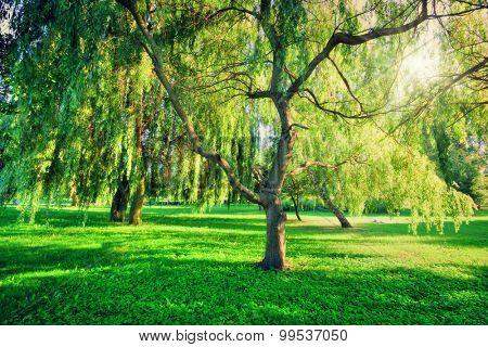 Green summer park landscape. Sun shining through trees, leaves. Nature theme