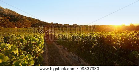 Field Of Grape Vines Under Clear Blue Sky