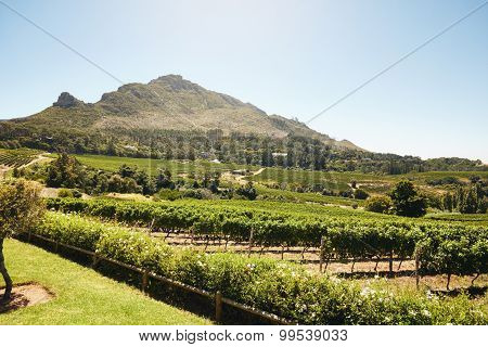 Grape Farming For Winemaking Industry