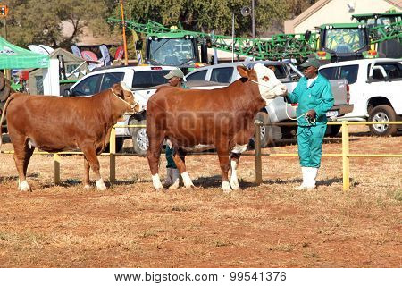 Brown With White On Head Simmentaler Cows Lead By Handler Photo