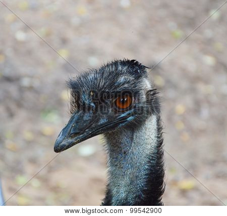 emu with the red eye