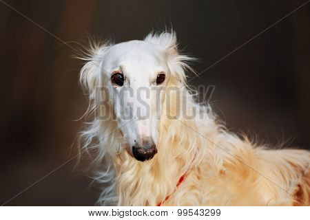 Dog Russian Borzoi Wolfhound Head , Outdoors Spring Autumn Time