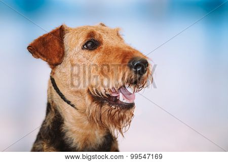 Beautiful Brown Airedale Terriers Dog