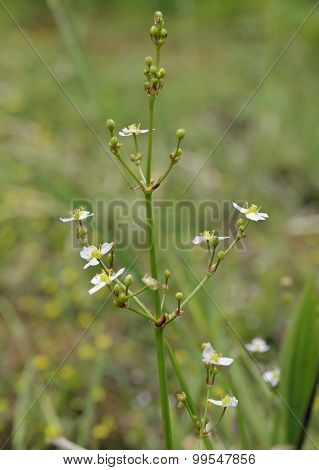 Common Water-plantain