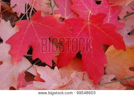 Two scarlet leaves