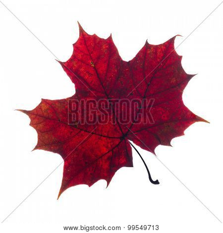 autumn fallen maple leaf isolated on white background