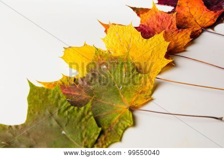 autumn fallen maple leaves isolated on white background