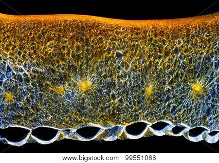 Chili Pepper (Capsicum Annuum) Fruit Pericarp Cross-section