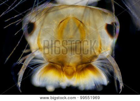 Mosquito (Aedes) Larva Head