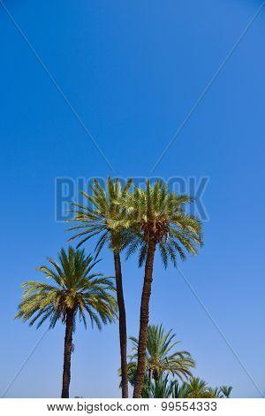Palm Tree on Blue Sky-Menara parc in Marrakech-Morocco