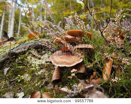 Heather and mushrooms in the forest