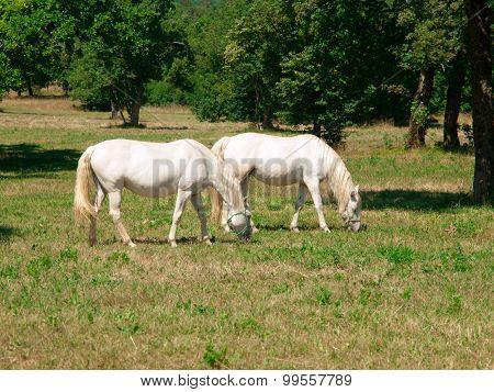 White Lipizzaners grazing