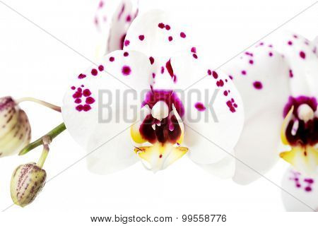 Branch of white and purple orchid flower.