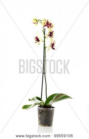 Yellow and purple orchid flower in pot.