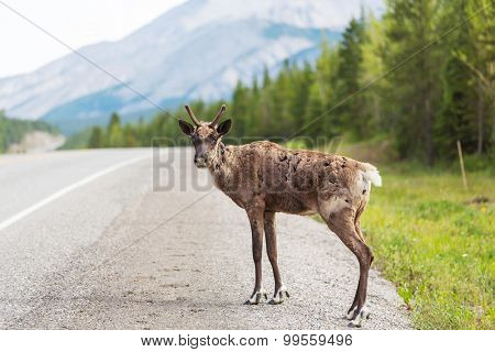 Caribou on Klondike highway,Yukon,Canada