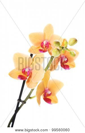 Branch of orange orchid flower.
