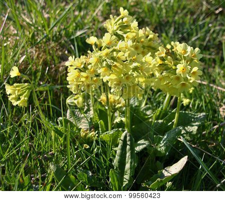 Flowering Yellow Cowslips In The Spring