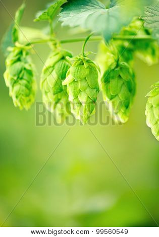 Hop plant close up growing on a Hop farm. Fresh and Ripe Hops ready for harvesting. Beer production ingredient. Brewing.