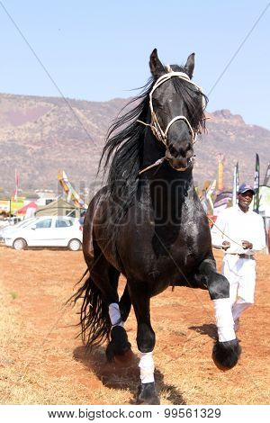 Handler Letting Lovely Black Friesian Horse Gallop.