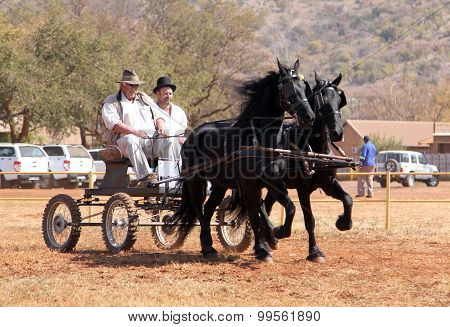 Lovely Galloping Black Friesian Horses Pulling Cart.