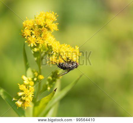 Flesh Fly On Yellow Flower