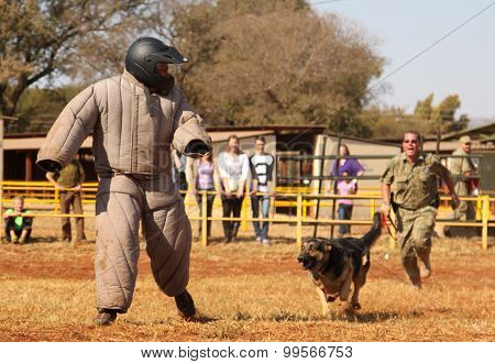 Police Trained Alsatian Dog, Take Padded Running Man Down In Show Simulation. Sequence 2 Of 10.